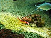 Tropical Crayfish