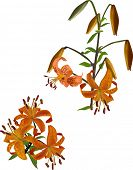 orange spotted lily illustration on white background