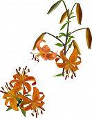 orange spotted lily illustration on white background