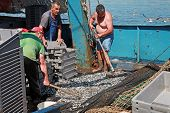 Fishermen Unload The Catch Of Sprat. Black Sea
