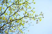 foto of dogwood  - Branches and leaves of the dogwood in Spring, Japan