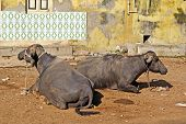 Indian Buffalos