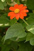 Orange Zenia