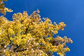 foto of linden-tree  - Linden tree with golden leaves in autumn against blue sky - JPG