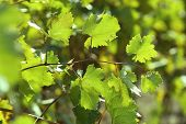 Grape leaves and sun beams