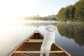 stock photo of cockapoo  - Small White Dog Navigating From the Bow of a Canoe on a Misty Lake  - JPG