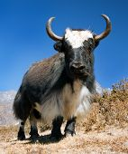 stock photo of yaks  - Black and white Yak  - JPG