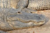 Closeup of crocodile head