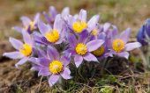 pic of violet flower  - view of beautiful flowering flower of pasqueflower - JPG