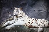 stock photo of white tiger cub  - White bengal tiger lying relax and watching on cliff - JPG