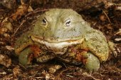 picture of pixie  - African Bull Frog  - JPG