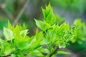 Green Leaves Of Lilac