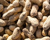 picture of ground nut  - Monkey nuts are a cheap form of the famous legume peanut