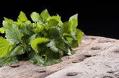 stock photo of nettle  - a bunch of fresh nettles used in alternative medicine - JPG