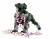 stock photo of schnauzer  - puppy Miniature Schnauzer in front of white background - JPG