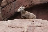 Bighorn Sheep Lying On A Rock