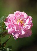 White Rose Flower In A Garden