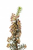 stock photo of angiosperms  - Erica arborea tree heath isolated on white background - JPG