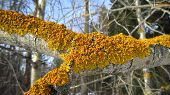 image of lichenes  - Yellow lichen colony on the twig surface - JPG