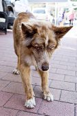 picture of australian shepherd  - a playing Australian Shepherd in the town
