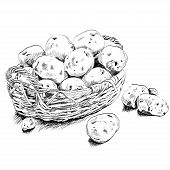 Potatoes scetch in a basket on white bsckground.