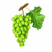 grapes fruit vector illustration  hand drawn  painted watercolor