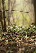 Snowdrops In A Forest