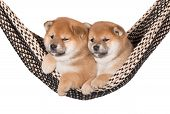 pic of fluffy puppy  - two adorable red shiba inu puppies on white - JPG
