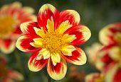 Yellow Red Dahlia Flower