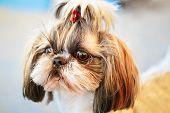 foto of dog breed shih-tzu  - Close Up Cute Shih Tzu White Toy Dog - JPG