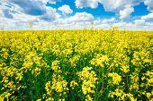 stock photo of rape  - Green Field Blue Sky - JPG