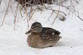 Mallard-Hen on Snow (Anas platyrhynchos)