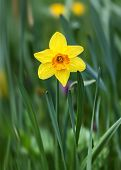 Yellow Narcissus Flower In The Green Grass