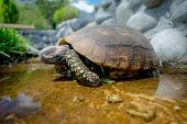 picture of green turtle  - cute green turtle walking on a pond in a farm looking peaceful