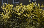 Blossoming yellow forsythia flower