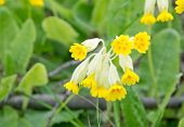 Yellow primula veris or key flower