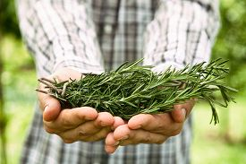 stock photo of food plant  - Herb Rosemary - JPG