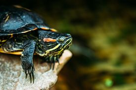 foto of terrapin turtle  - Small Red - JPG