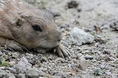 picture of groundhog day  - sleeping gopher at a zoo in austria - JPG