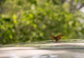 picture of spread wings  - Orange butterfly sitting on a table with spread wings - JPG