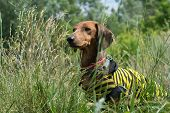 stock photo of dachshund dog  - dog breed dachshund sitting in the bushes, looking to the side, the dog hunts. In the dog breed dachshund wearing a vest, striped, yellow and black stripes.