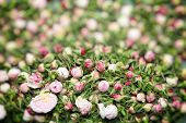 picture of rose bud  - Image of vintage nostalgic white roses  buds background texture - JPG