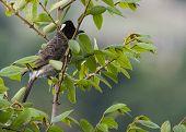 foto of bulbul  - black headed bulbul on a tree branch - JPG