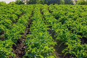 image of potato-field  - Field with rows of planted young potatoes - JPG