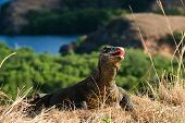 picture of lizard skin  - The Komodo dragon - JPG