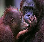foto of orangutan  - A female of the orangutan with a cub in a native habitat - JPG