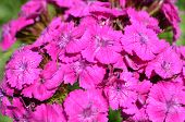 pic of carnation  - Bright bouquet of carnations - JPG