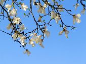 foto of magnolia  - Authentic landscape magnolia flowers against the sky backlit as a backdrop for the staging of promotional songs and text - JPG