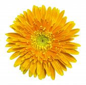 image of gerbera daisy  - Orange gerbera daisy isolated on a white background - JPG
