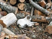 pic of firewood  - White and gray cat rest in firewood - JPG